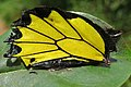 Troides minos - Southern Birdwing - part of male wing at Iritty (2).jpg
