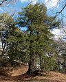 Tsuga canadensis (Canadian Hemlock) (31181760983).jpg