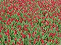 Tulip 1300259.jpg