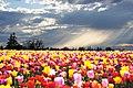 Tulip farm, Layne Chiaramonte (5352566386).jpg