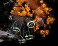 Tunicate black orange.jpg
