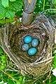 Turdus merula love nest.jpg
