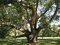 Turkey Oak at Chateau-sur-Mer, Newport, RI - August 29, 2015.jpg