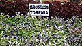 Turonia from Lalbagh flower show Aug 2013 8395.JPG
