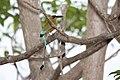 Turquois-browed Motmot (Eumomota superciliosa) (5771846357).jpg