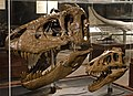 Tyrannosaurus growth.jpg