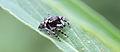 Unknown jumping spider (14326086767).jpg
