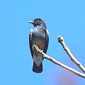 Urubuzinho (Chelidoptera tenebrosa) - Swallow-winged Puffbird.JPG