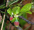 Vaccinium myrtillus (Ericaceae) (Bilberry), Ortenaukreis (Landkreis), BRD.jpg