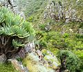 Valley of Fan Aloes - Western Cape mountains - South Africa.jpg