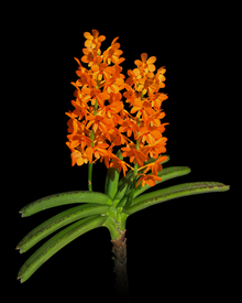 Photo of small orchid Vanda garayi in bloom, isolated on a black background.