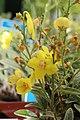 Verbascum Letitia 1zz.jpg