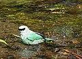 Verditer Flycatcher scientific name Eumyias thalassinus while taking bath at Sattal Kumaon India DSCN1870 1.jpg
