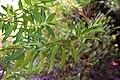 Veronica barkeri in Christchurch Botanic Gardens 02.jpg