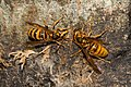 Vespa simillima xanthoptera 01-2.jpg