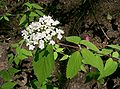 Viburnum erosum2.jpg