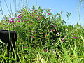 Vicia sativa plant1 (10735802585).jpg