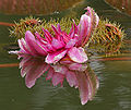 Victoria amazonica (Gaint Amazon Water Lily) in Hyderabad, AP W IMG 2614.jpg