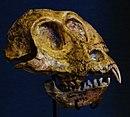 Victoriapithecus macinnesi skull.JPG