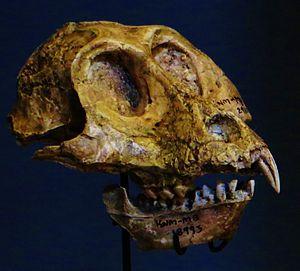 Victoriapithecus - Skull