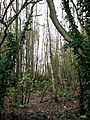 View into Steward's Plantation - geograph.org.uk - 615780.jpg