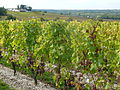 Vineyard in Sauternes with grapes showing noble rot.jpg