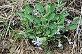 Viola adunca - Flickr - aspidoscelis.jpg