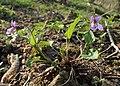 Viola reichenbachiana kz06.jpg