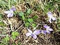 Viola rupestris sl6.jpg