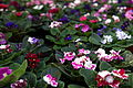 Violets-all-colors - West Virginia - ForestWander.jpg