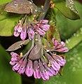 Virginia Bluebells - Mertensia virginica, Merrimac Farm Wildlife Management Area, Aden, Virginia - 13722569813.jpg