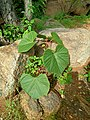 Vitaceae Tiruvannamalai.jpg