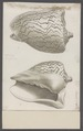 Voluta scapha - - Print - Iconographia Zoologica - Special Collections University of Amsterdam - UBAINV0274 087 04 0002A.tif
