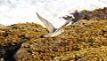 Wandering Tattler (Heteroscelus incanus) (26438811666).jpg