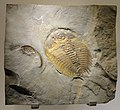 Wanneria sp., Early Cambrian, Eager Formation, Cranbrook, BC, Canada - Houston Museum of Natural Science - DSC01398.JPG
