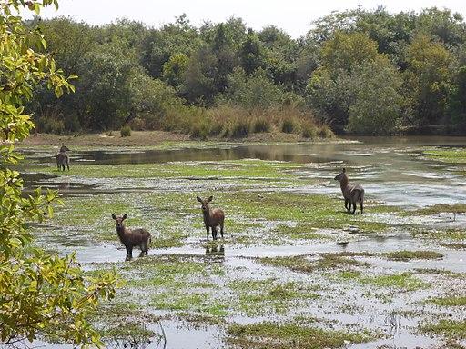 Water buck (Kobus ellipsiprymnus) -Yankari game reserve, Bauchi State (1)