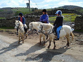 Des welsh section A, ou welsh mountain ponies.
