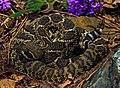Western Diamondback Rattlesnake (Crotalus atrox) - Flickr - 2ndPeter.jpg