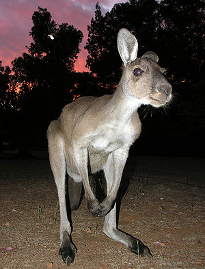 Western grey kangaroo - Wild western grey at sunset, Western Australia