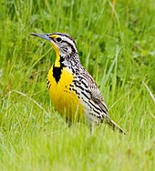 A bird with a bright yellow breast is perched on the ground amid grasses.
