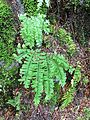 Western maidenhair fern - Flickr - brewbooks.jpg