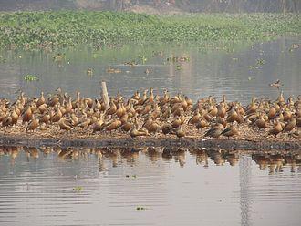 Santragachhi - The lesser whistling ducks dominate the entire lake.