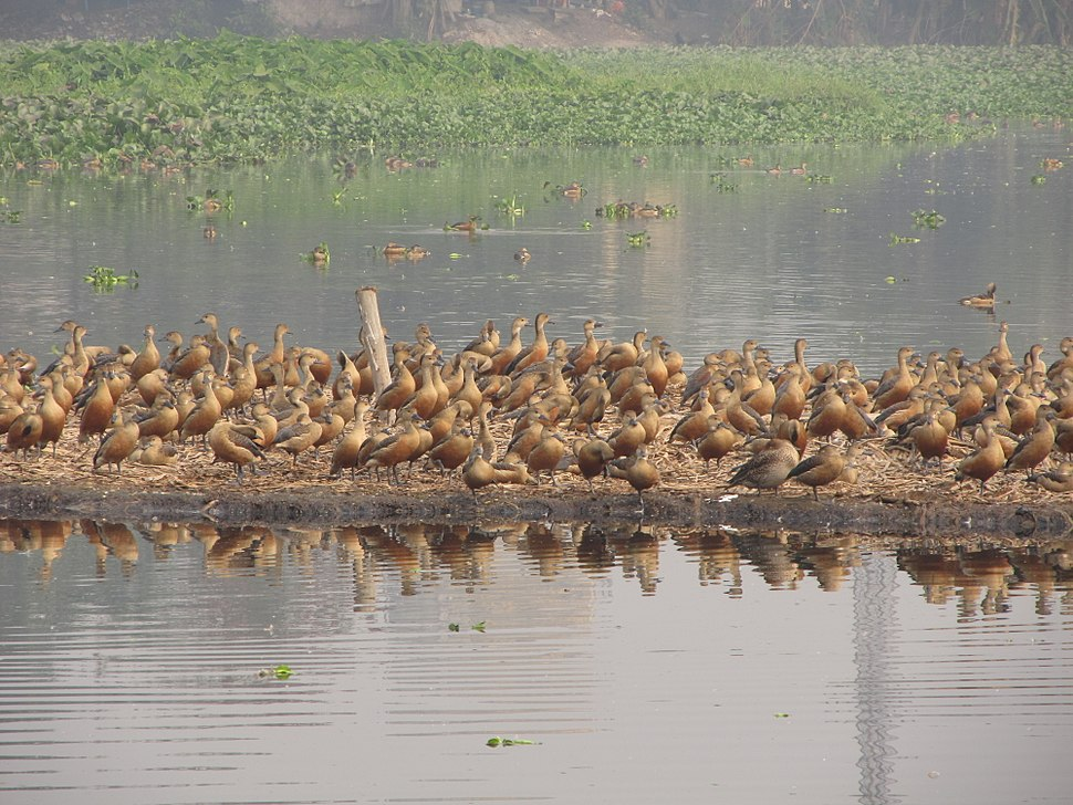 Whistling Ducks - Santragachi Lake - Howrah 2012-01-26 1519