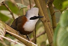 White-crested Laughingthrush Garrulax leucolophus 07.01.2014 Aritar Lake, East Sikkim, India.jpg