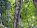 White-crowned Hornbill (Berenicornis comatus) male (8077304251).jpg