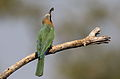 White-fronted Bee-eater, Merops bullockoides, at Kruger National Park, South Africa (20336984913).jpg