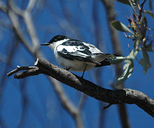 White-winged Triller summer Jandowae.jpg