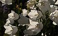 White Bells (6162658544).jpg