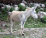 White Donkey (3846243065).jpg