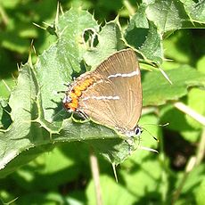 White Letter Hairstreak.jpg